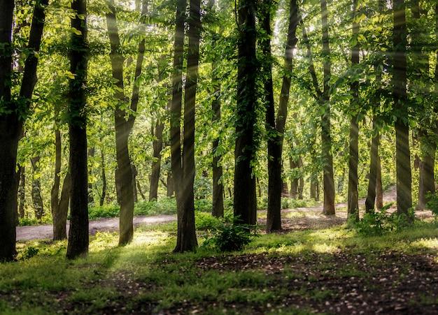 春の森の栗の木と木々の間の明るい太陽光線。新鮮な春の紅葉の背景。
