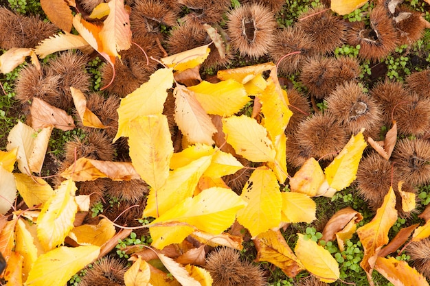 Chestnuts out of its prickly envelope