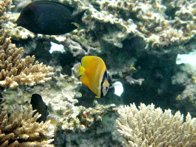 シェブロンチョウチョウウオ、chaetodon trifascialis、サンゴ礁の上を泳ぐ