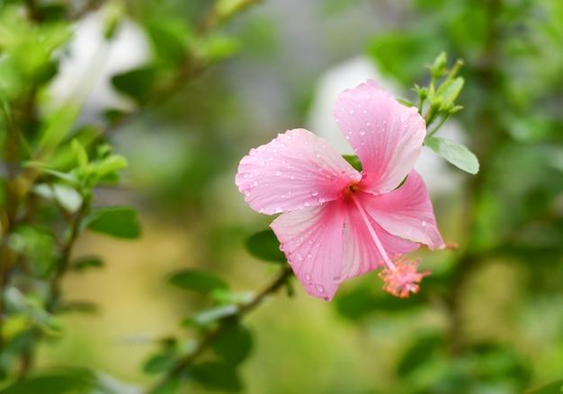 ハイビスカスピンクの花、庭に水滴のある木に/ハイビスカス・ロサ・シネンシス、chi