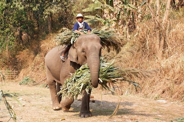 チェンマイ、タイ-3月13日:第15回全国タイ象の日、象は2014年3月13日、タイのチェンマイのマエサ象キャンプでの象祭りで食べ物を家に持ち帰ります。