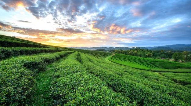 Взгляд захода солнца ландшафта плантации чая на chiang rai, таиланде.