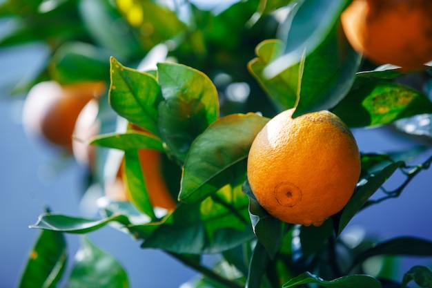 Закройте вверх по зрелой смертной казни через повешение плодоовощ апельсинов на дереве в оранжевом саде плантации, chiangmai, таиланде