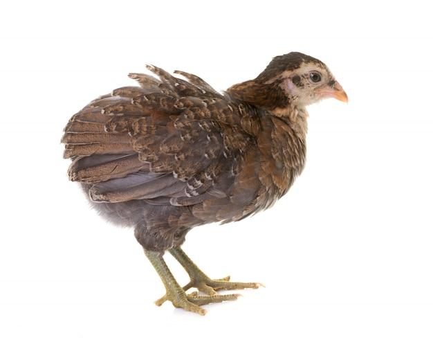 Цыпленок араукана в студии