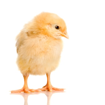 Chick in front of a white background