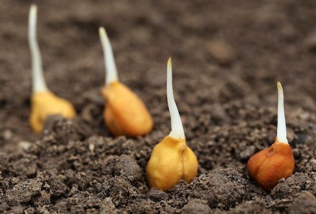 Рассада нута в плодородной почве с селективной фокусировкой