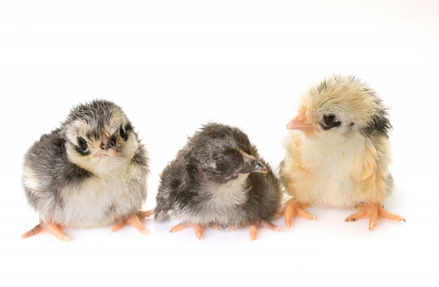 Chick serama in studio