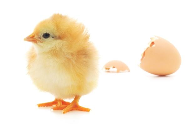 Курица и яичная скорлупа на белом фоне