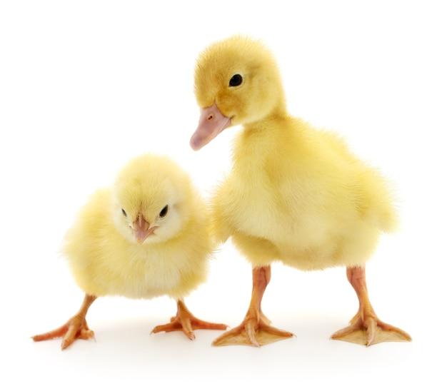 Курица и утенок, изолированные на белом фоне