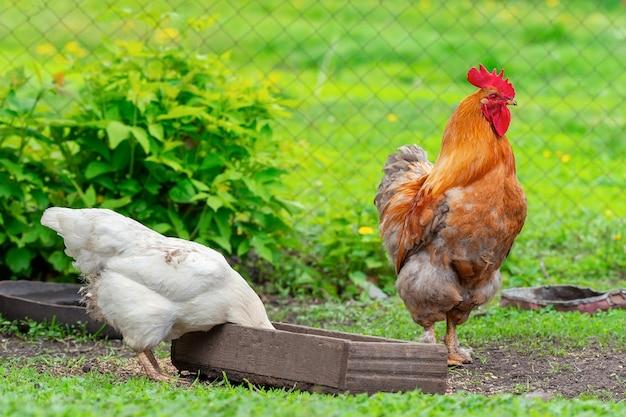 牧草地の鶏とオンドリ