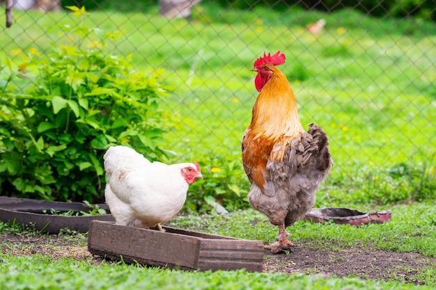 Цыпленок и петух гуляют во дворе