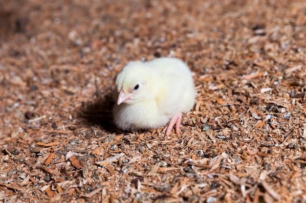 Курица на птицефабрике