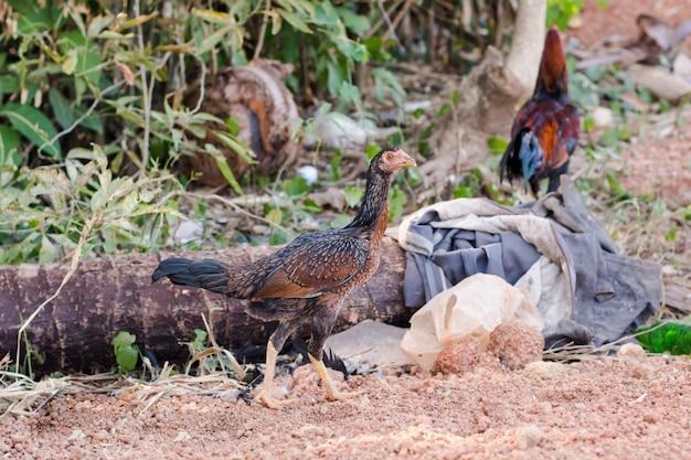 Chicken, bantam, animal, chicken native in the country thailand.