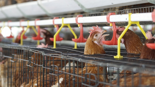 Chicken drink water in farm, eggs and poultry production