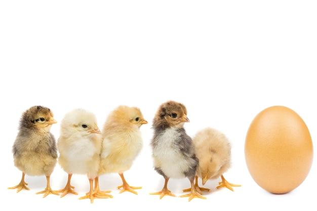 Chicken egg on white background