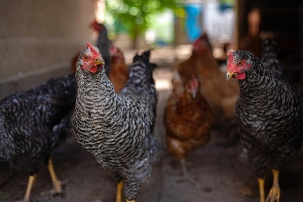 Кормление цыплят на традиционном сельском скотном дворе куры на коровнике в эко-ферме