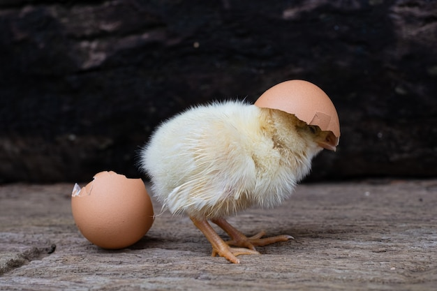 Chicken hatching from an egg and eggshell at old wooden surface