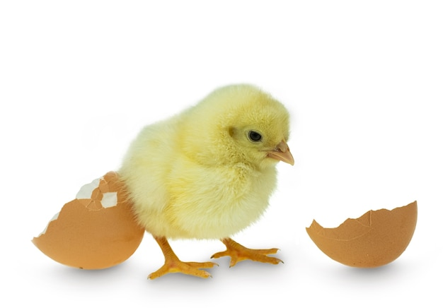 Chicken hatching from an egg and eggshell