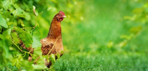 Курица в траве на ферме. курица на традиционной органической птицеферме свободного выгула, пасущейся на траве с копией пространства или для баннера.