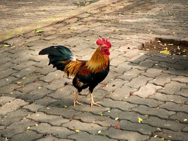 뒤뜰에 사는 닭 프리미엄 사진