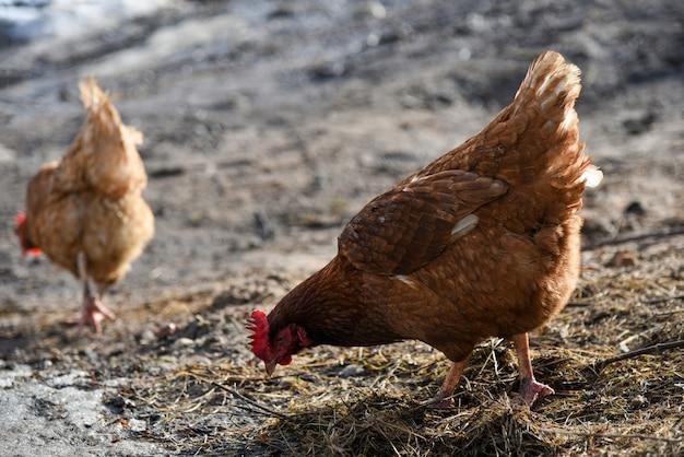 거리에 잔디에서 음식을 찾고 치킨.