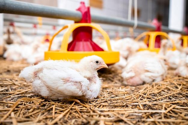 현대 가금류 농장에 누워 있는 닭과 빠른 성장을 위한 자동 급이 시스템.