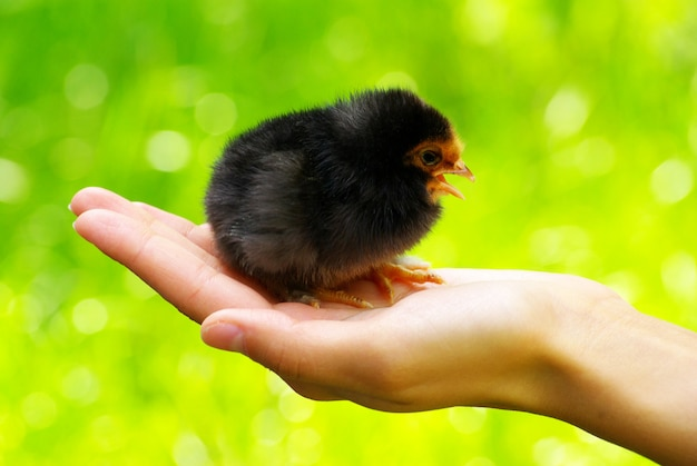 女性の手に鶏