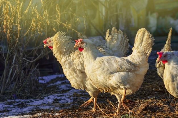 겨울에 농장에서 닭. 겨울에 암탉. 야외에서 방목하는 겨울에 닭