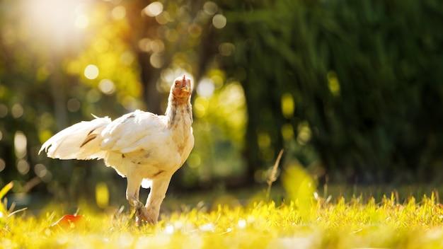 自然の中の鶏またはオンドリ