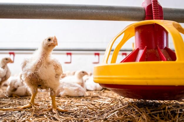 산업용 육류 생산을 위한 가금류 농장의 피더 옆에 서 있는 닭.