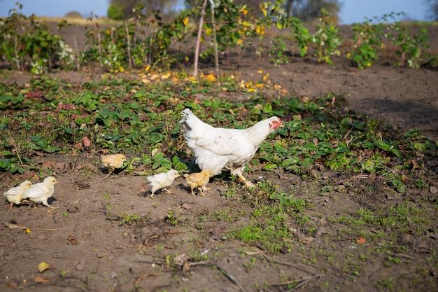 Chicken walks with little chickens in garden
