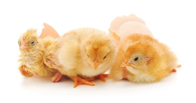 Цыплята и яйца скорлупы на белом фоне