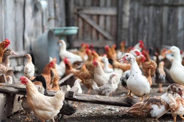 농장에서 닭과 거위