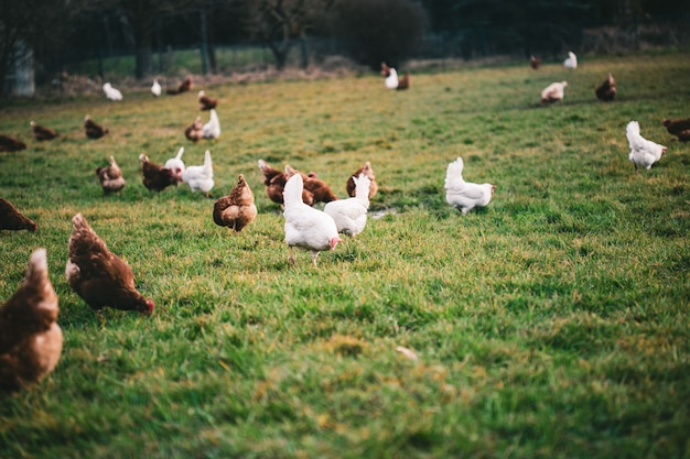 Chickens of different colors in the farmyard during daytime
