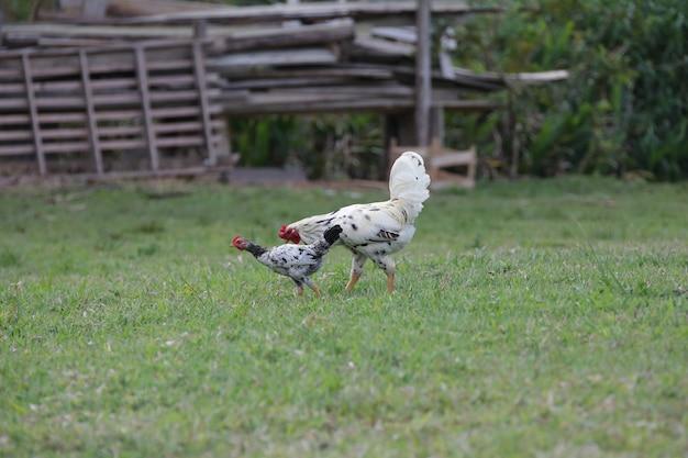 野原の芝生でさまざまな種類とサイズの茂みを食べる鶏