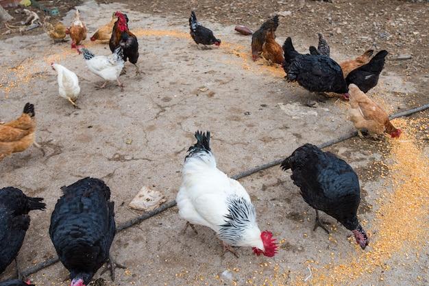 닭장에 있는 닭, 거위, 칠면조