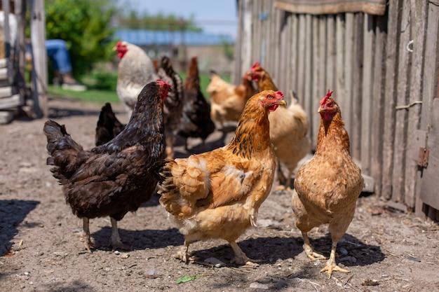 Chickens graze in a lawn at a home farm