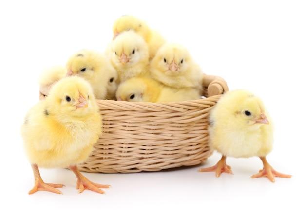 Цыплята в корзине, изолированные на белом фоне.