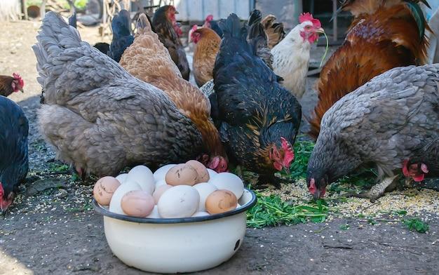 농장에서 닭과 그릇에 계란