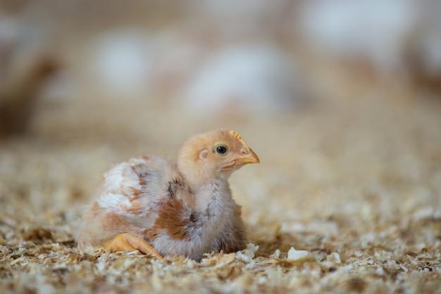 농장에서 닭