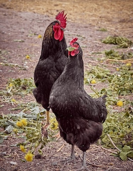 Chickens on a traditional farm.