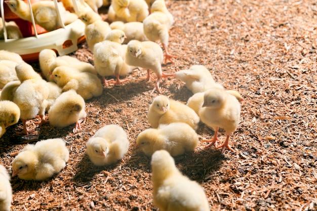 가금류 농장에서 병아리