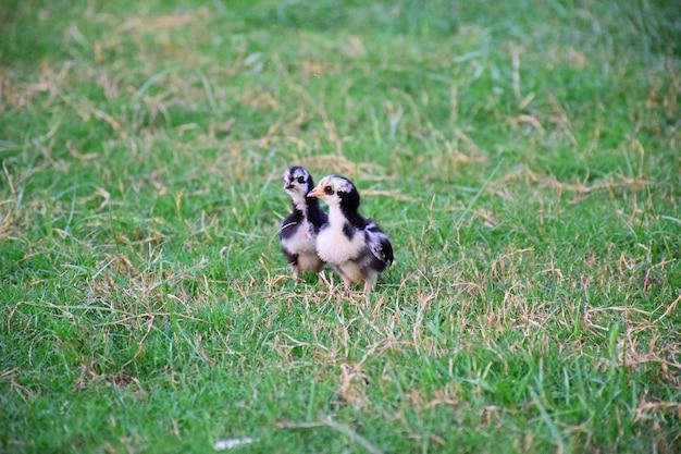 Цыплята на лужайке фермы