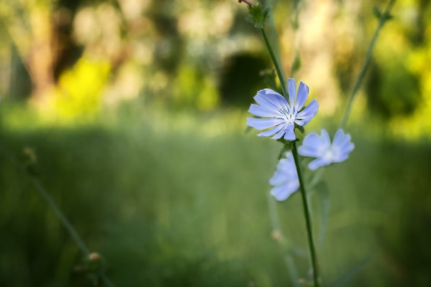 庭のコーヒーグラスのチコリの花