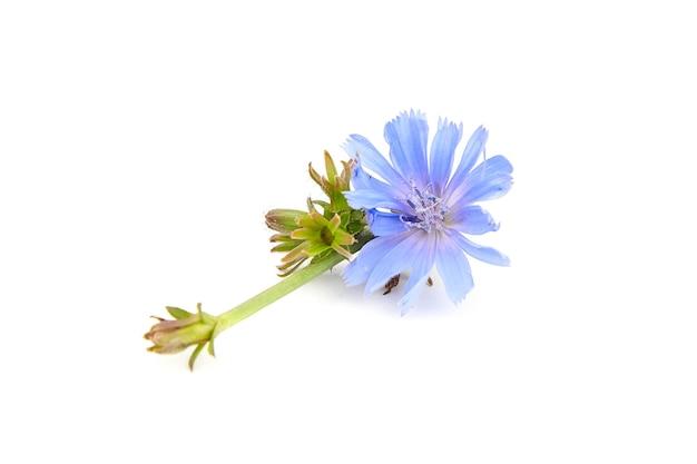 Синие цветы цикория, изолированные на белой стене