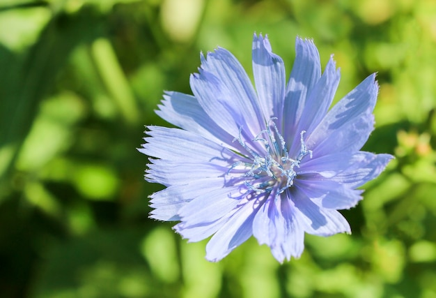 Chicory flower on the green grass background