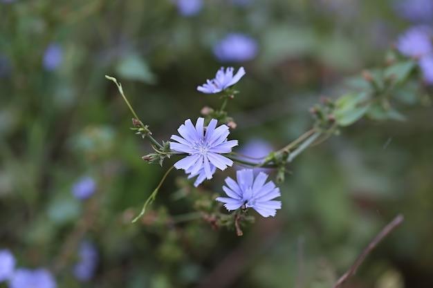 畑のチコリの花。ソフトセレクティブフォーカス。