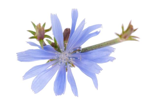 흰색 배경에 고립 치커리 꽃 cichorium intybus