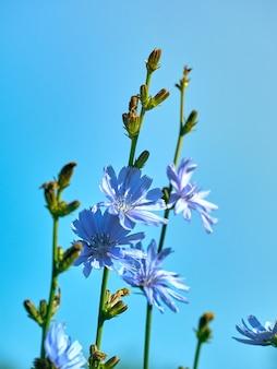 Цветки цикория на лугу.