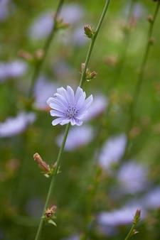 牧草地のチコリの花